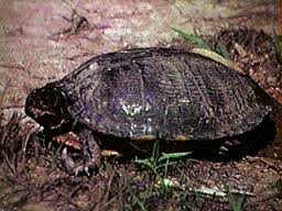 indian turtle 2