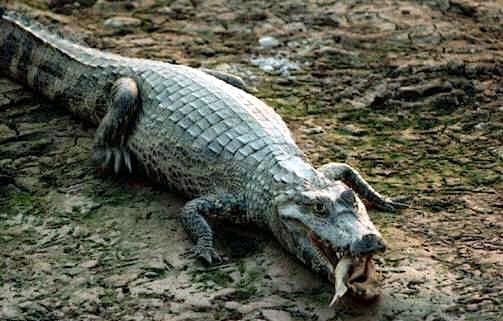 This is a caiman.