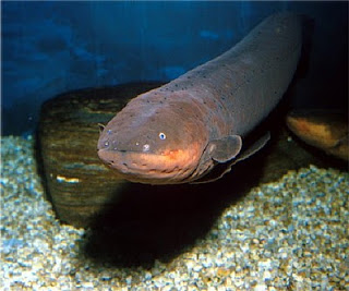 This is an electric eel.