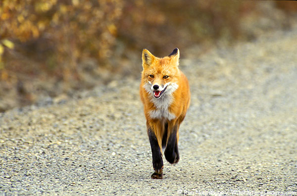 A Red Fox in Denali National Park, Alaska.