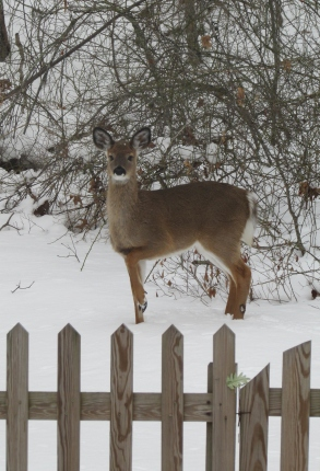 A deer with strong survival skills.