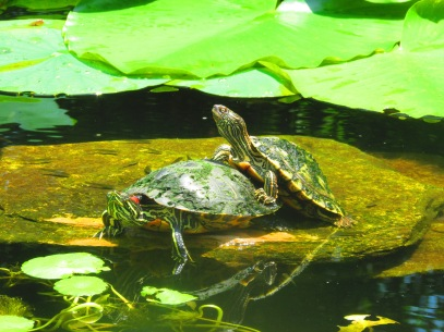 Turtle sex?