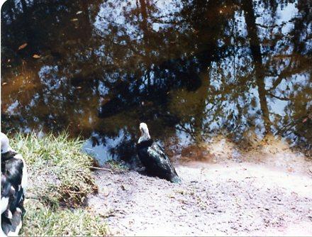 1985alligator001