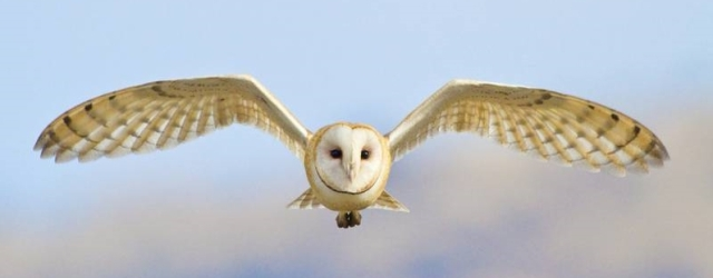 barn-owl-001.jpg.0x545_q70_crop-scale